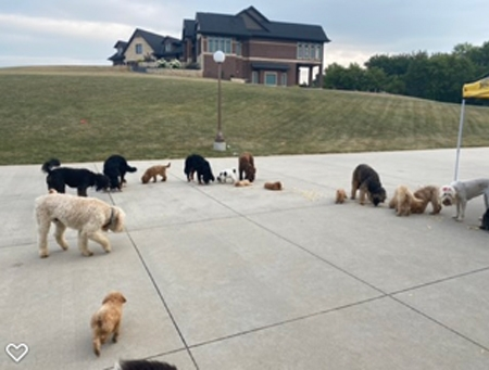 Doodle puppies playing with each other in Iowa
